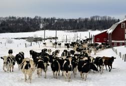 dreamstime_lots-of-cows